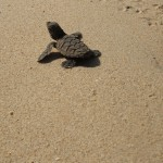 Hawksbill sea turtles on the beach