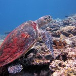 Hawksbill sea turtle in El Nido!