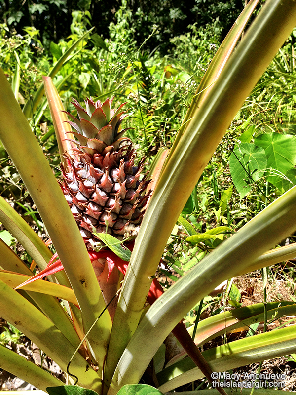 01 growing pineapple