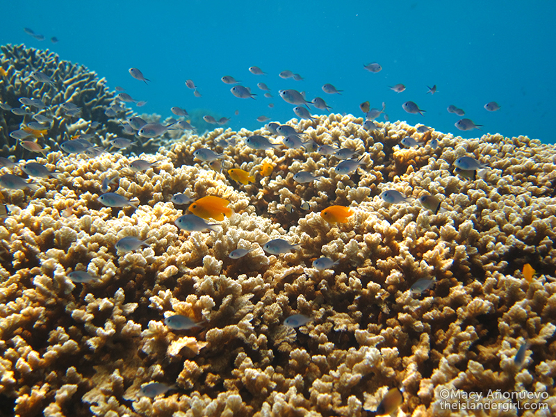 Juvenile damselfish hiding in the coral
