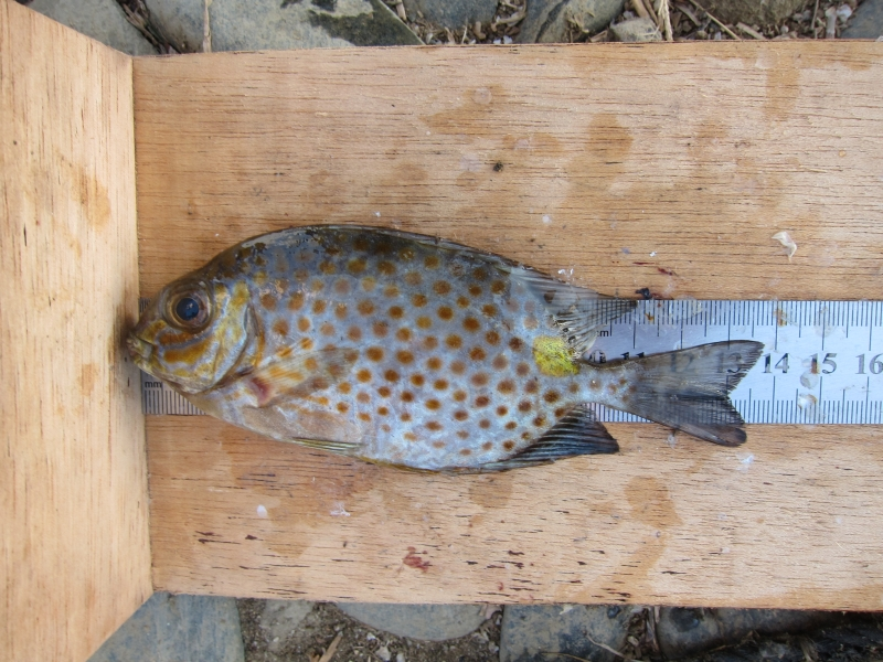 09 Siganus guttatus caught