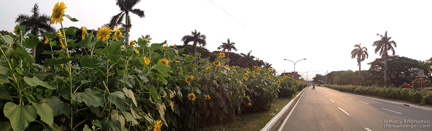 The famous sunflowers of the University of the Philippines-Diliman.